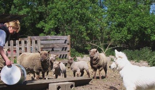Fastoch' et les moutons d'Annie
